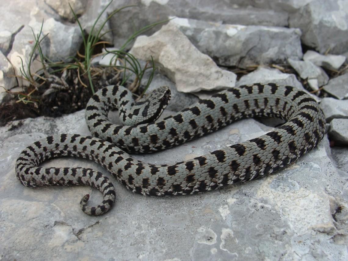 Ядовитые змеи краснодарского края фото и названия