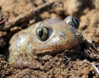ukopavanje češnjarke: mužjak u svom karakterističnom staništu s mekom rastresitom zemljom.