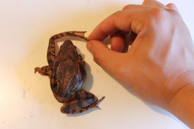 Rana temporaria ima kraće noge jer preferira močvarna i vlažna područja sa nižom travom
