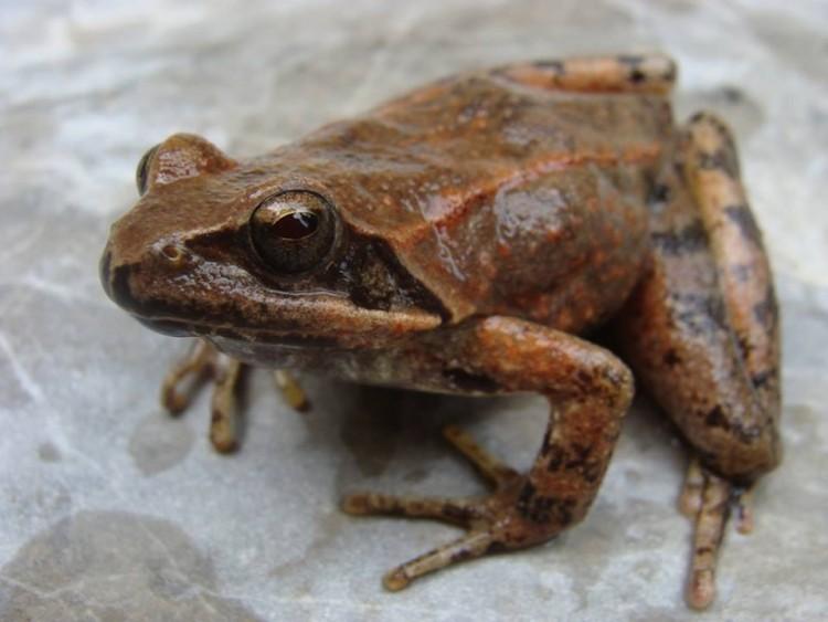 Potočna žaba