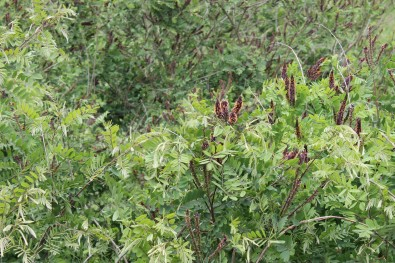 Amorpha fruticosa - false indigo-bush: invasive plant species in Posavina / invazivna biljna vrsta Posavine