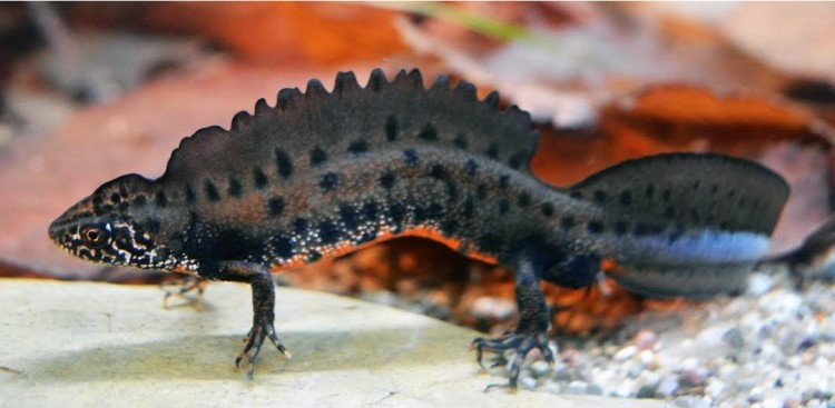 Pannonian crested newt